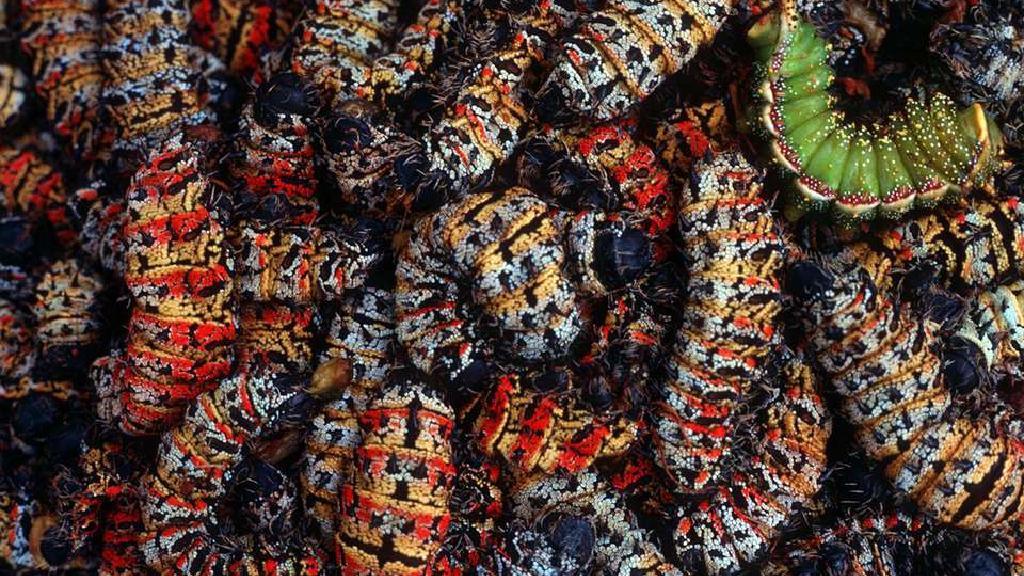 Tradicionalna afrička kuhinja: Mopane crvi
